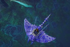 Blue Spotted Manta